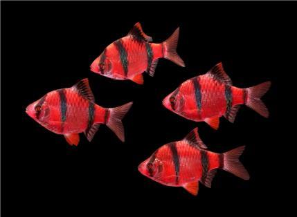 Барбус Суматранский GloFish Рубиновый
