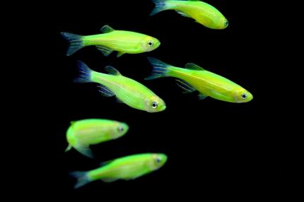 Данио GloFish зеленый «Electric Green»