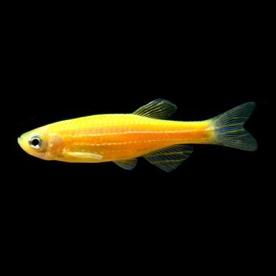 Данио GloFish оранжевый «Sunburst Orange»