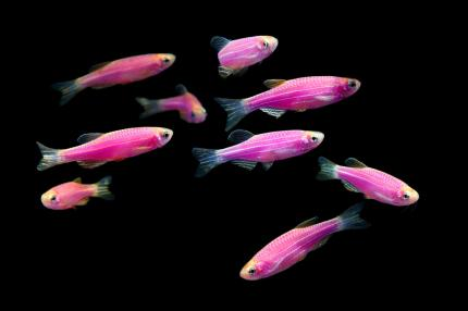 Данио GloFish розовый «Moonrise Pink»