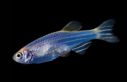 Данио GloFish Космический голубой «Cosmic Blue» (синий)