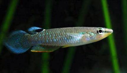 Аплохейлус голубой (Aplocheilus punchax)