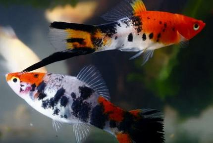Меченосец Кои Красный (Xiphophorus Helleri)