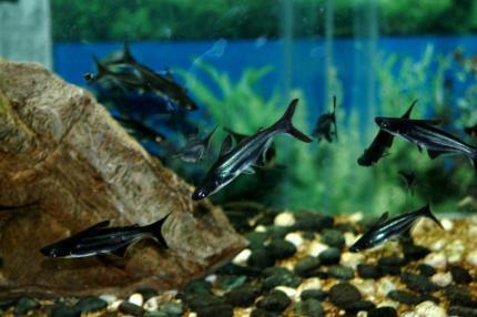 Акулий Сом (Pangassius Hypophtalmus)