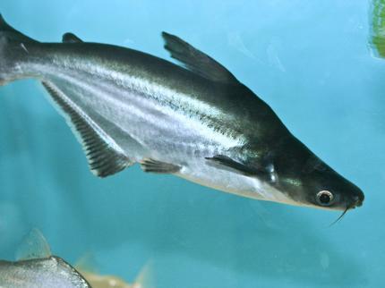 Акулий Сом В Пл (Pangassius Sanitwongsei)