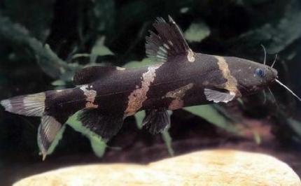 Касатка Мраморная Карликовая (Leiocassis Sp)