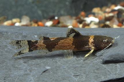 Микрогланис-Пчелка (Microglanis Poecilius)