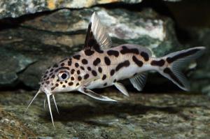 Синодонтис-Далматин (Synodontis Sp Hybrid)