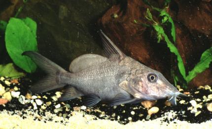 Сом Моржовый (Hemisynodontis Membranaceus)