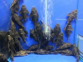 Сом Парчевый (Pterygoplichthys Gibbiceps)