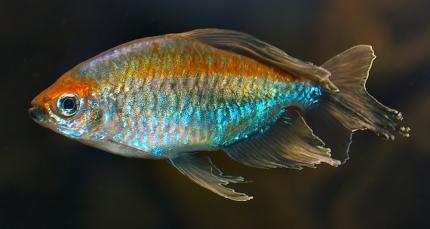 Конго (Phenacogrammus Interruptus)