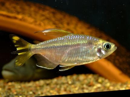 Конго Золотой (Phenacogrammus Caudalis)