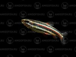 Наностомус Маргинатус (Nannostomus Marginatus)