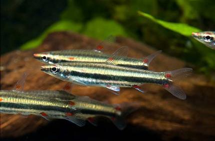 Наностомус Трифасциатус Серебрянный (Nannostomus Trifasciatus )