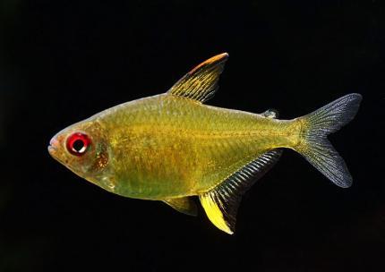 Тетра Лимонная (Hyphessobrycon Pulchripinnis)