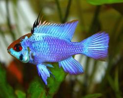 Апистограмма Электрик Блю (Microgeophagus ramirezi Electric Blue)