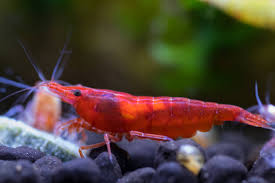 Креветка Красный Огонь (Neocaridina heteropoda var. Fire Red)