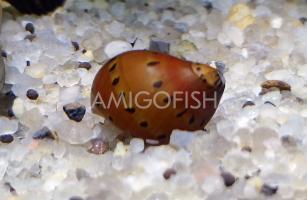 Улитка Тигровая неретина (Tiger Nerite Snail)  недорого купить с доставкой в магазине Амигофиш
