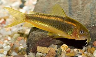 Коридорас Перу Оранж Страйп (Corydoras Aeneus Peru Gold Stripe)