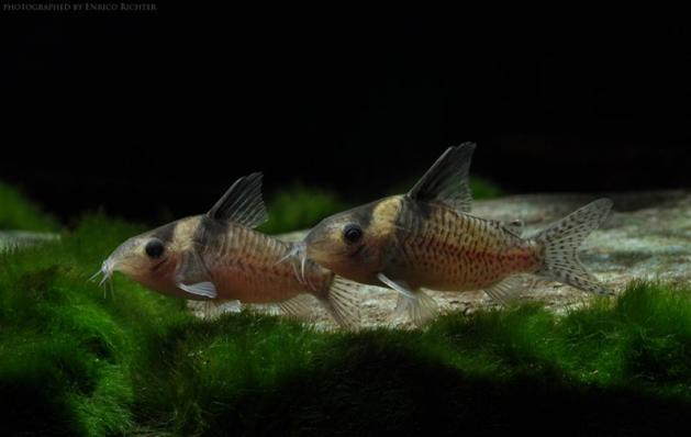 Коридорас Дельфакс (Corydoras Delphax)