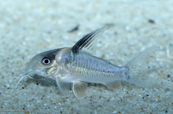 Коридорас Cw045 (Corydoras Sp Cw045)