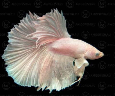 Рыбка Петушок Халфмун белый люкс Амигофиш