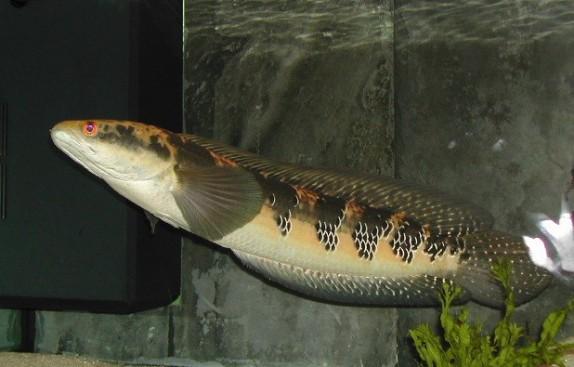 Императорский змееголов 25 см