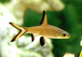 Барбус Акулий (Balantiocheilus Melanopterus) купить