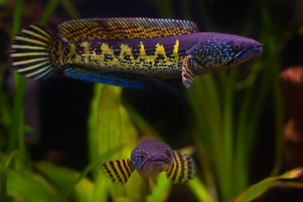 Змееголов золотая кобра