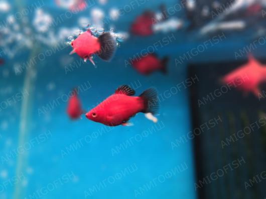 Пецилия дисковая Красно-черная, разводная