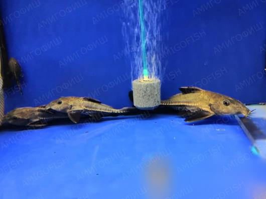 Оксидорас черный (Oxydoras niger)