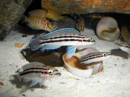 Юлидохромис Дикфельда (Julidochromis dickfeldi)
