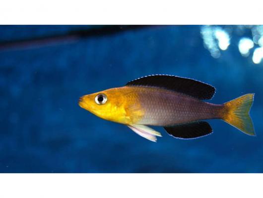 """Циприхромис лептосома Йеллоу (Cyprichromis leptosoma """"Yellow Head"""")"""
