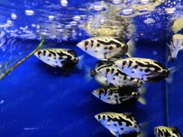 Рыба брызгун золотой