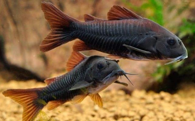 Коридорас Венесуэла Блэк  (Corydoras Sp. Black Venezuela)