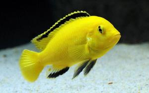 prodtmpimg/15116951503546_-_time_-_35-2.electric-yellow-cichlid.jpg