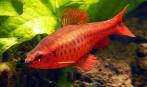 Вишневый барбус - купить на Amigofish.ru