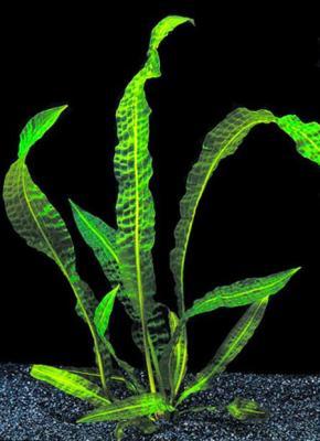 Апоногетон Боивина (Aponogeton boivianus)