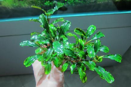 Буцефоландра зеленая волнистая (Bucephalandra green wavy)