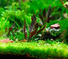 prodtmpimg/15210136235589_-_time_-_56-3-Cryptocoryne-walkeri.jpg