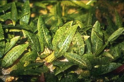 Криптокорина родственная (Cryptocoryne affinis)