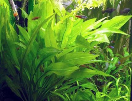 Эхинодорус Блехера (Echinodorus grisebachii «Bleherae»)
