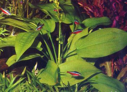 Эхинодорус горизонтальный (Echinodorus horizontalis)