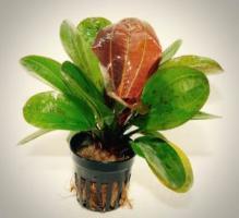 Эхинодорус Хади красный жемчуг (Hadi red pearl)