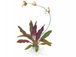 Эхинодорус рубин (Echinodorus Rubin)