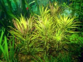 Эустралис звездчатый (Eustralis stellata)