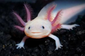 Аксолотль белый (Ambystoma mexicanum)